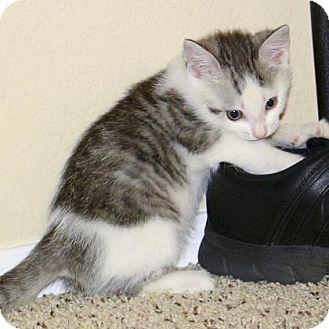 Domestic Mediumhair Kitten for adoption in Mesa, Arizona - Silas