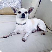 Chihuahua Mix Dog for adoption in Little Elm, Texas - Arabella