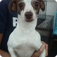 Chihuahua Mix Dog for adoption in Centerville, Georgia - Jersey