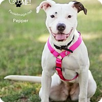 Adopt A Pet :: PEPPER 3 - Chandler, AZ