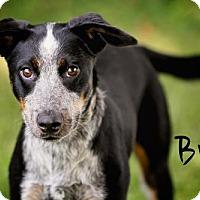 Adopt A Pet :: Brud - Joliet, IL