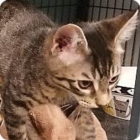 Adopt A Pet :: Bruce - Tomball, TX