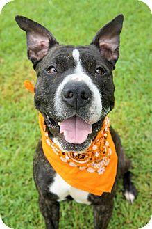 Pit Bull Terrier/Boxer Mix Dog for adoption in Virginia Beach, Virginia - 1609-1535 Dumbledore