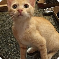 American Shorthair Kitten for adoption in Metairie, Louisiana - Missy