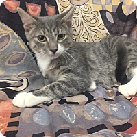 Domestic Shorthair Kitten for adoption in Highland Park, New Jersey - Roman