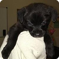 Adopt A Pet :: Chevre - Brookeville, MD