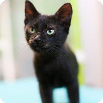 Domestic Shorthair Kitten for adoption in Austin, Texas - Big Mac