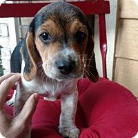 Adopt A Pet :: Thor - Tampa, FL