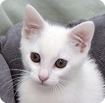 Domestic Shorthair Kitten for adoption in Redondo Beach, California - Norman