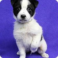 Adopt A Pet :: BORIS - Westminster, CO