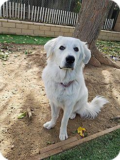Great Pyrenees Mix Puppy for adoption in Santa Clarita, California - Melanie