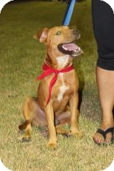 Labrador Retriever/American Staffordshire Terrier Mix Dog for adoption in Justin, Texas - Stanley