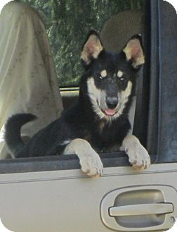 Australian Kelpie/Husky Mix Dog for adoption in Lincolnton, North Carolina - Tok