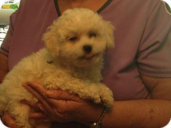 Poodle (Miniature)/Shih Tzu Mix Puppy for adoption in Hazard, Kentucky - Cottontail