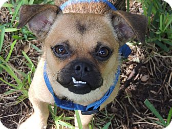Pug Mix Dog for adoption in Austin, Texas - Sparky