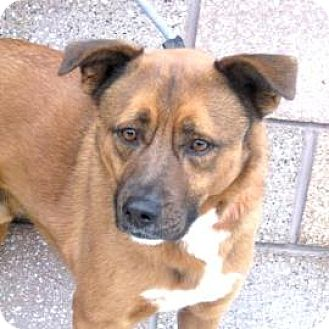 Shepherd (Unknown Type) Mix Dog for adoption in Denver, Colorado - Theo