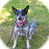 Adopt A Pet :: Amazing Joey - Woodland Hills, CA