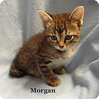 Adopt A Pet :: Morgan - Bentonville, AR