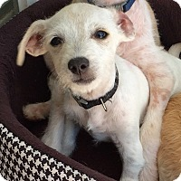 Adopt A Pet :: Louie - Mission Viejo, CA