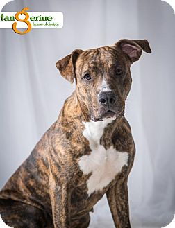 Pit Bull Terrier Mix Dog for adoption in St Paul, Minnesota - Betsy