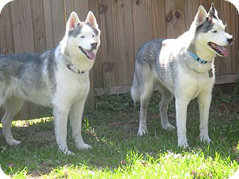 Siberian Husky Dog for adoption in Orange Park, Florida - DENALI and KENAI