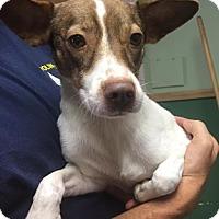 Adopt A Pet :: Olivia - Kaufman, TX