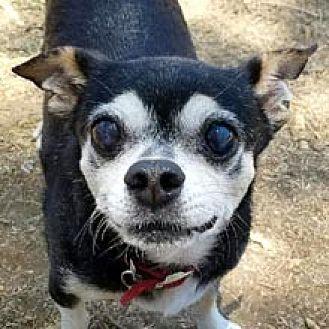 Chihuahua Mix Dog for adoption in Phoenix, Arizona - Sebastian