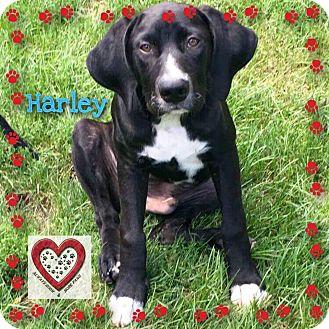 Labrador Retriever/Hound (Unknown Type) Mix Puppy for adoption in Elgin, Illinois - Harley