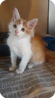 Domestic Mediumhair Kitten for adoption in Anderson, South Carolina - Gouda