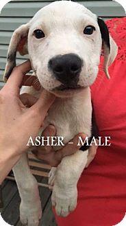"Labrador Retriever/Pointer Mix Puppy for adoption in Salem, Massachusetts - The ""A"" Litter"