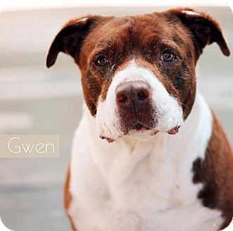 Pit Bull Terrier/Staffordshire Bull Terrier Mix Dog for adoption in Burbank, California - Gwen