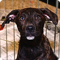 Labrador Retriever Mix Puppy for adoption in Fairfax Station, Virginia - Halford
