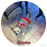 Adopt A Pet :: Gizmo - Rowlett, TX