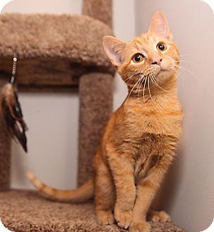 Domestic Shorthair Kitten for adoption in Mooresville, North Carolina - A..  Brayden