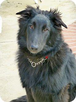 Belgian Shepherd Dog for adoption in Anaheim, California - Mike and Ike