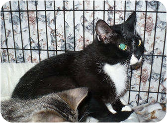 Domestic Shorthair Cat for adoption in Colmar, Pennsylvania - Mary