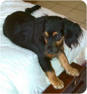 Cocker spaniel dachshund mix puppy - photo#17