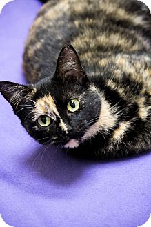 Domestic Shorthair Cat for adoption in Chicago, Illinois - Tortellini