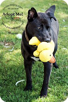 Labrador Retriever/Shepherd (Unknown Type) Mix Dog for adoption in Gilbert, Arizona - Wayne