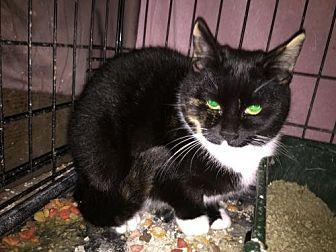 Domestic Shorthair Cat for adoption in Ocean Pines, Maryland - Tatum