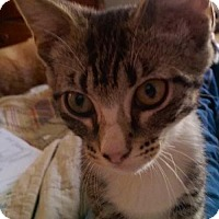 Adopt A Pet :: Toonces - Olive Branch, MS