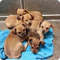 Adopt A Pet :: Chug Litter - Santa Rosa, CA