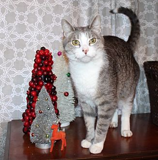 Domestic Shorthair Cat for adoption in St. Louis, Missouri - Squonk
