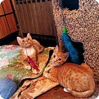 Adopt A Pet :: Cheddar - Rockaway Park, NY