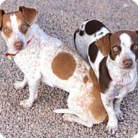 Adopt A Pet :: Ms Scarlett - Phoenix, AZ