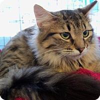 Domestic Longhair Cat for adoption in Walnut Creek, California - Moonbeam