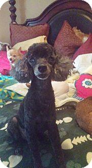 Poodle (Miniature) Mix Dog for adoption in Brooksville, Florida - Carlton