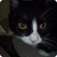 Adopt A Pet :: Bootsy - Hamburg, NY