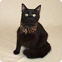 Domestic Longhair Cat for adoption in Jackson, Mississippi - Pa Pa Bear