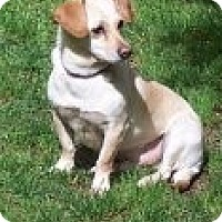 Adopt A Pet :: JAX (Shelton) I would love a 4-legged buddy - Bainbridge Island, WA